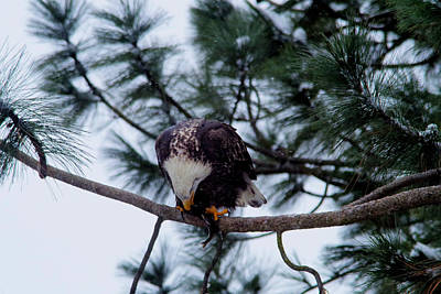 Young Eagle Devouring A Fish Art Print by Jeff Swan