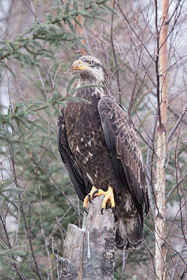 Photograph - Young Eagle by Gerry Sibell