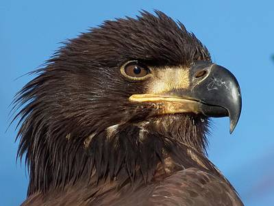 Photograph - Young Eagle Head by Sheldon Bilsker