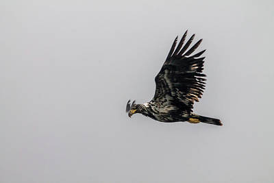 Photograph - Young Eagle In Flight 07 by Timothy Latta