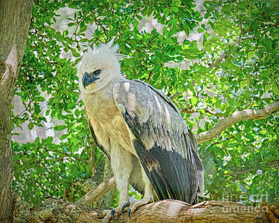 Photograph - Young Eagle by Judy Kay