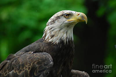 Painting - Young Eagle by LeRoy Jesfield