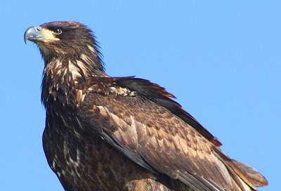 Eagle Photograph - Young Eagle  by Nick Gustafson