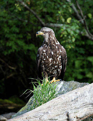 Photograph - Young Eagle On A Rock by Gloria Anderson
