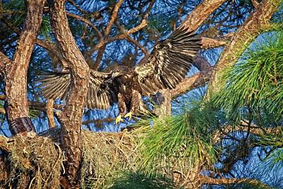Photograph - Young Eagle On Nest by Ronald Lutz