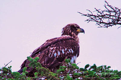 Photograph - Young Eagle Perched by Jeff Swan