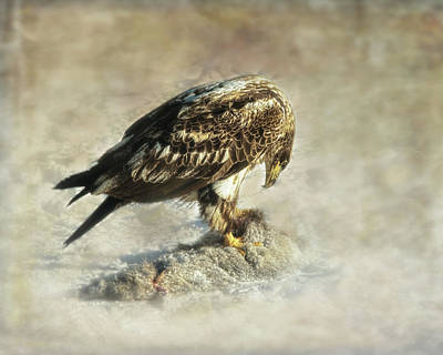 Photograph - Young Eagle  by Susan Capuano