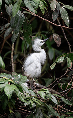 All Black On Trend - Young Egret Costa Rica by Joan Carroll