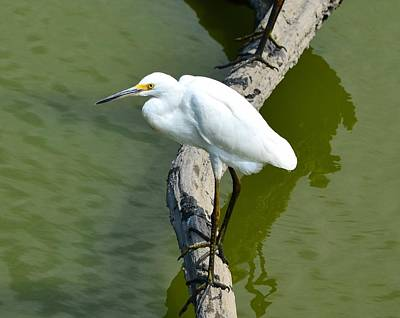 Photograph - Young Egret Resting by Kathy Eickenberg