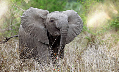Photograph - Young Elephant In The Light, Africa Wildlife by Wibke W