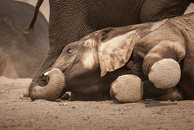 Bathing Photograph - Young Elephant Lying Down by Johan Swanepoel