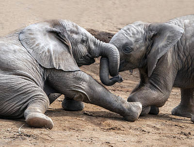 Photograph - Young Elephants Wrestling by William Bitman