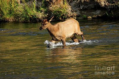Photograph - Young Elk Crossing River by Ben Graham