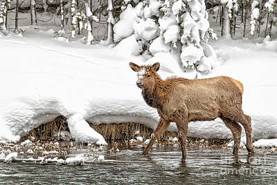 Photograph - Young Elk by Sonya Lang