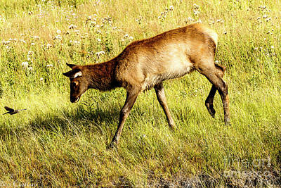 Photograph - Young Elk With Bird by Ben Graham