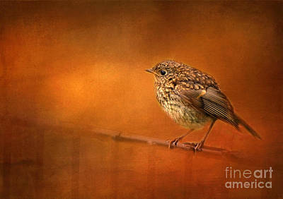 Photograph - Young English Robin by Judi Bagwell