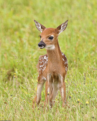 Big Meadows Photograph - Young Fawn by Bill Swindaman