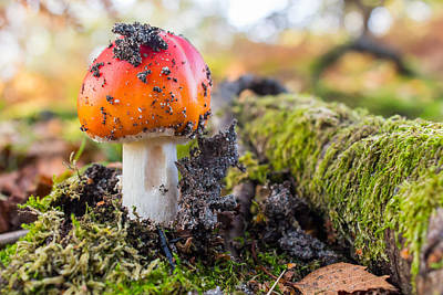 Pop Art Rights Managed Images - Young fly agaric close up Royalty-Free Image by Gyorgy Kotorman