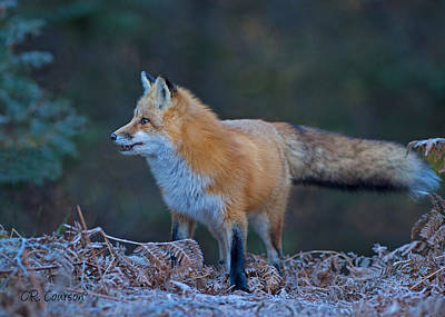 Photograph - Young Fox by CR Courson
