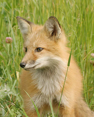 Print featuring the photograph Young Fox by Doris Potter