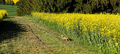 Dog In Landscape Photograph - Young Fox In A Rapeseed Field by Panoramic Images