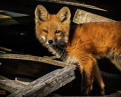 Photograph - Young Fox In The Wood by Will Bailey