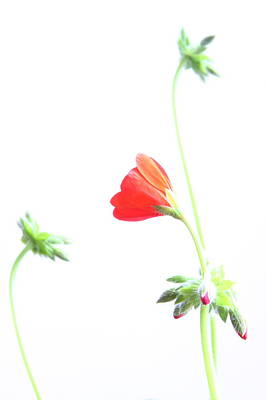 Red Photograph - Young Geranium Fine Art Photography Print by James BO  Insogna