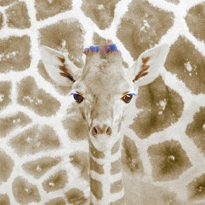 Photograph - Young Giraffe by Mark Mille