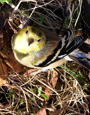 Looking Up Digital Art - Young Goldfinch by Kristin Elmquist