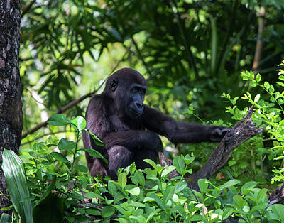 Photograph - Young Gorilla by Arthur Dodd