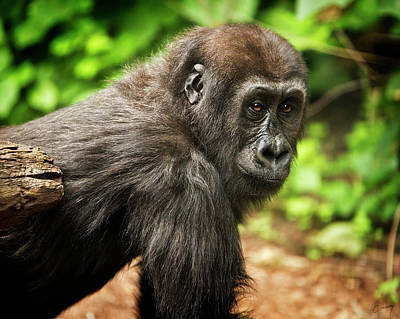 Christina Conway Royalty-Free and Rights-Managed Images - Young Gorilla by Christina Conway