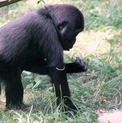 Photograph - Young Gorilla by Laurel Talabere