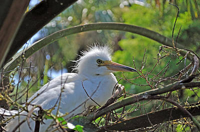Young Great Egret Art Print by Kenneth Albin