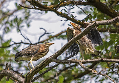 Photograph - Young Green Heron Antics by Loree Johnson