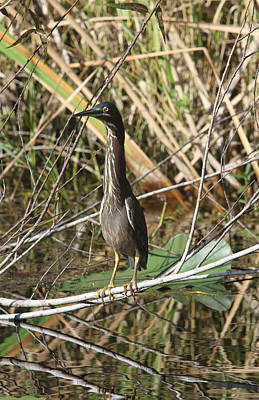 Young Green Heron  Art Print by Christiane Schulze Art And Photography
