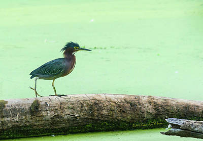 Photograph - Young Green Heron by Edward Peterson