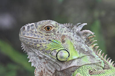 Tropical Photograph - Young Green Iguana #3 by Judy Whitton