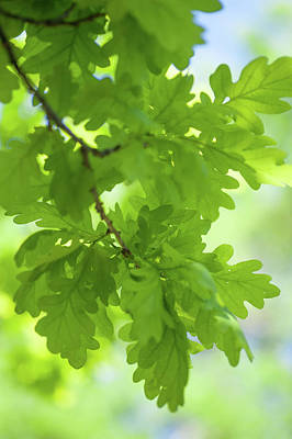 Photograph - Young Green Oak Leaves by Jenny Rainbow