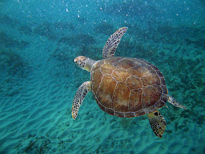 Young Green Turtle Art Print by Kimberly Mohlenhoff