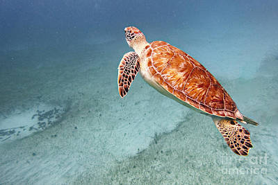 Green Sea Turtle Photograph - Young Green Turtle Swimming Underwater by George Oze