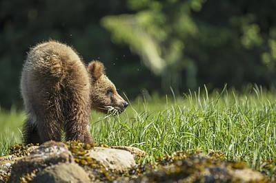 Prince Rupert Photograph - Young Grizzly Bear  Ursus Arctos by Robert Postma