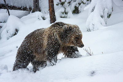 Photograph - Young Grizzly In Blizzard by Mark Miller