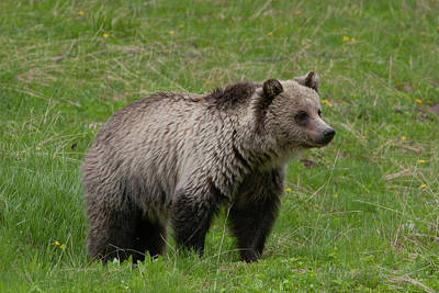 Photograph - Young Grizzly by Mark Miller