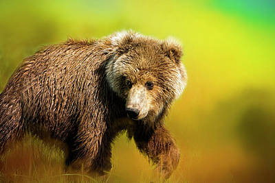 Photograph - Young Grizzly by Phyllis Taylor
