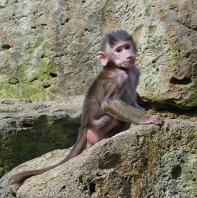 Photograph - Baby Hamadryas Baboon by Margaret Saheed