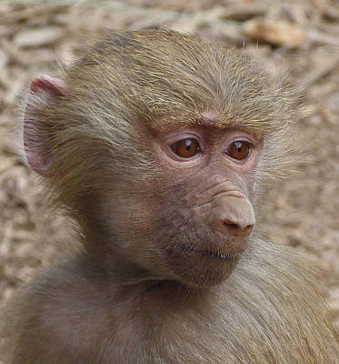Photograph - Young Hamadryas Baboon Portrait by Margaret Saheed