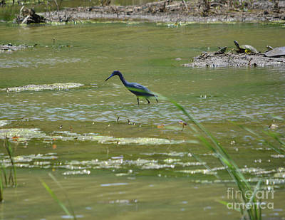 Photograph - Young Heron  by Ruth Housley