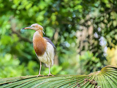 Photograph - Young Heron Stance by Judy Kay