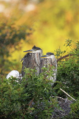 Young Herons Art Print by Brian Magnier