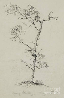 Nature Study Drawing - Young Hickory, 1823 by Thomas Cole